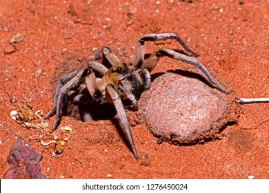 Trapdoor Spider outside burrow