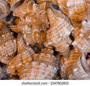 Trapezium horse conch, Pleuroploca trapezium