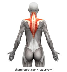 Trapezius - Anatomy Muscles isolated on white - 3D illustration