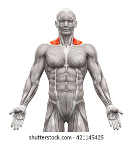 Trapezius Front Neck - Anatomy Muscles isolated on white - 3D illustration