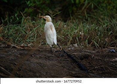 Thecattle egretis trapped and ensnared with plastic waste thrown by humans
