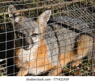 a trapped gray fox about to be transported to a wildlife area