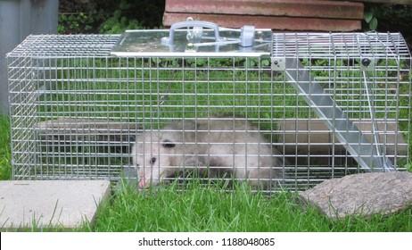 Trapped Opossum Possum in no kill cage Urban Wildlife