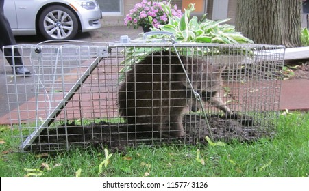 Trapped Raccoon in No Kill Cage