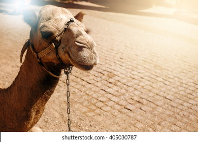 Travel Background. Camel Sitting on a Desert Land. Touristic Concept. Space for Text.