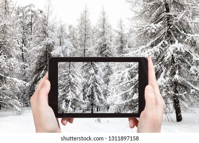 travel concept - tourist photographs of snowy fir and larch trees in winter forest on smartphone in Moscow, Russia