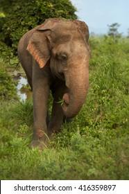 Travel destination Sri Lanka. Vertical photo of  wild Sri Lankan Elephant, Elephas maximus, coming out of the woods of UdaWalawe national park. Wildlife photography in Sri Lanka.