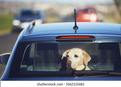 Travel with dog. Curious labrador retriever sitting in car and looking through window.