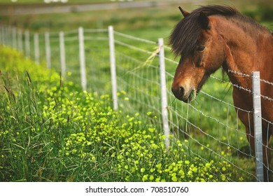 Travel to Iceland. horse on a green field background