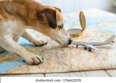 un viaje con mascota en avión. El perro gracioso Jack Russell terrier buscando preparación para vacaciones ruta rentable para planear el viaje Mesa con mapa borroso, cachorro curioso revisando el olfeo del avión