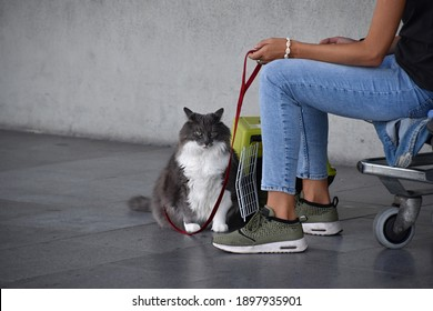 Traveling with a cat by plane, car, train, transport box, leash, long waiting, passport , holiday and vacation, bored and sad animal, main coon cat, persian cat
