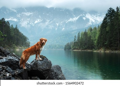 Traveling with a dog. Nova Scotia Duck Tolling Retriever stands on a rock on a lake in the background of mountains. Healthy lifestyle