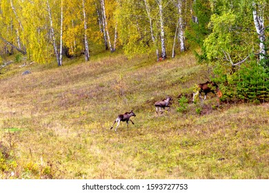 Traveling in the Urals. A family of moose crossed the road and went into the forest.