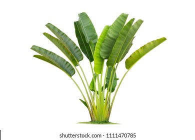 traveller's palm tree isolated on White Background,Banana tree planted into ornamental trees in the garden.