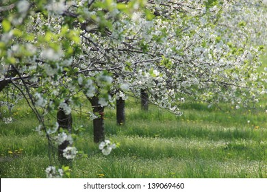 Traverse City Area Blossoms in Spring