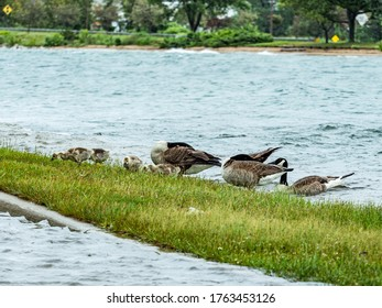 Traverse City, Mi June 23, 2020 a family of Canadian Geese graze on the grass along the shore of Grand Traverse Bay.