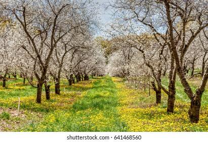 Traverse City Michigan Cherry Blossoms