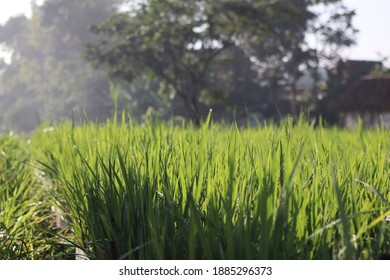 trawas indonesia-march 20, 2020 : Morning atmosphere in the slopes of rice fields near Trawas, Mojokerto regency, Indonesia - Shutterstock ID 1885296373