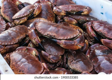 A tray of Edible Red Crab (Cancer pagurus) found on a fishing boat in Scarboroughs harbour
