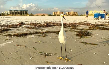 Treasure Island, Florida, USA - July 27, 2016: Snowy egret searches for food along a beach on Treasure Island