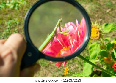 treat an insect mantis on a red flower through a magnifying glass in hand