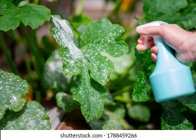 Treating powdery mildew on a zucchini plant.