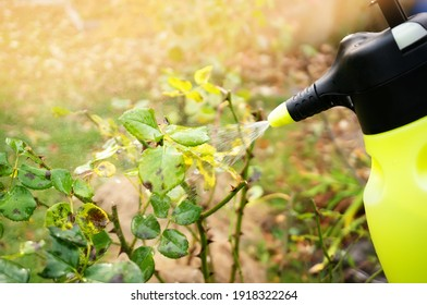 Treatment of affected rose plants with fungicides from a spray gun. Care of garden plants