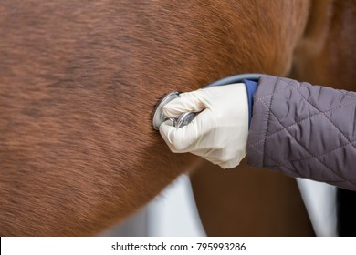 treatment at horse with stethoscope