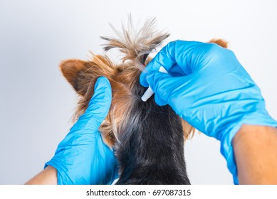 Treatment of a small dog with a remedy for fleas and ticks