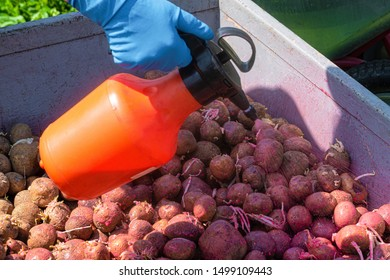 Treatment of sprouted potatoes with an insecticide before planting in the soil