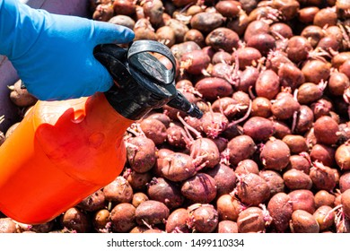 Treatment of sprouted potatoes with an insecticide before planting in the soil. Selective focus with with sharpness on a sprayer.
