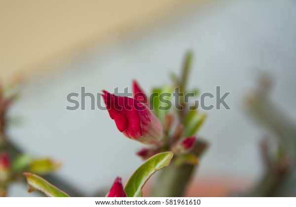 tred chinese rose