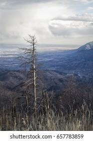 Tree Above Colorado Springs Waldo Canyon Burn Scar
