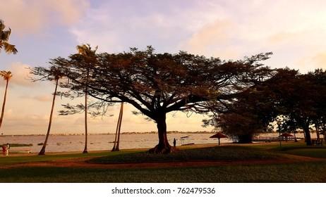 tree africa ivory coast abidjan
