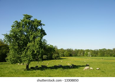 Tree alone in a field with sheep sheltering in the shadow