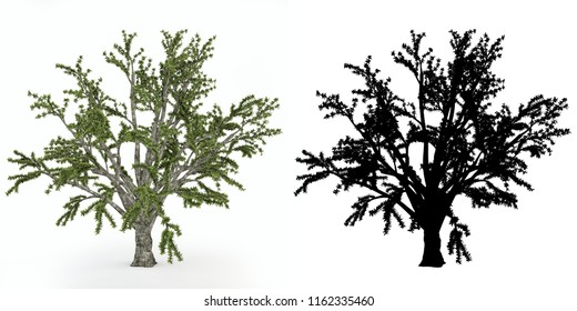 A tree with alpha mask isolated on white background.