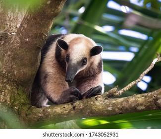 tree anteater costa rica wild