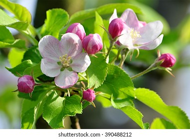 tree - apple trees blossomed