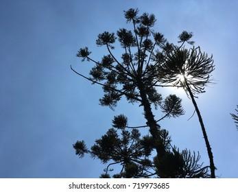 Tree Araucaria Araucana Pine with blue sky background