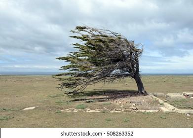 The tree in the archipelago of Tierra del Fuego.