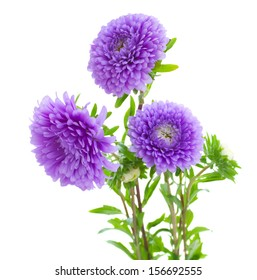 tree aster violet flowers isolated on white background