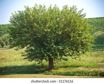 Tree (Asti, Piedmont, Italy)
