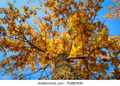 Tree in autumn with beautiful yellow leaves against the blue sky