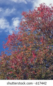 An tree with autumn colors against a blue sky