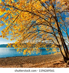 tree with autumn colors on the lake beach and clear blue sky in background