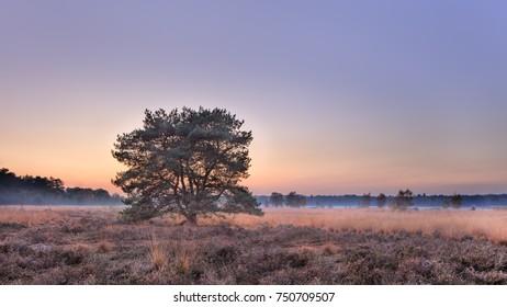 Tree at autumn sunset at heathland, Goirle, The Netherlands