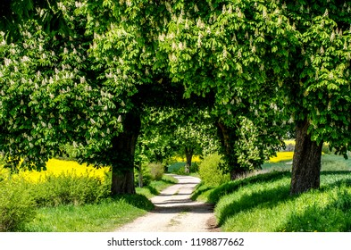 tree avenue in spring