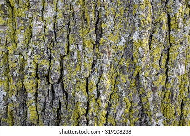 Tree Bark with Lichens