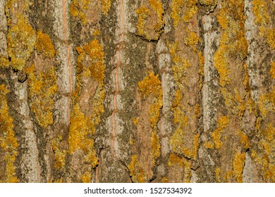 Tree bark with moss close up. Old wood tree bark texture with yellow moss. Soft selective focus.