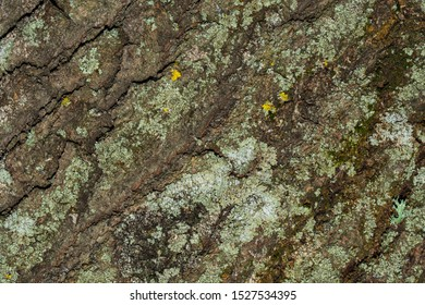 Tree bark with moss close up. Old wood tree bark texture with moss. Soft selective focus.